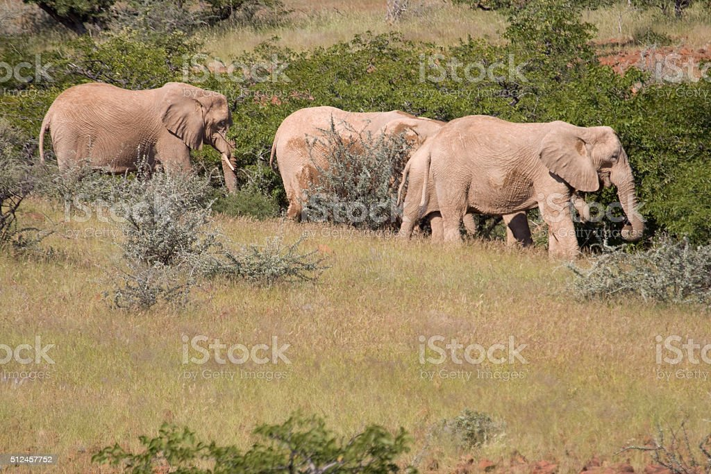 Desert adapted elephant herd feed Damaraland Namibia stock photo