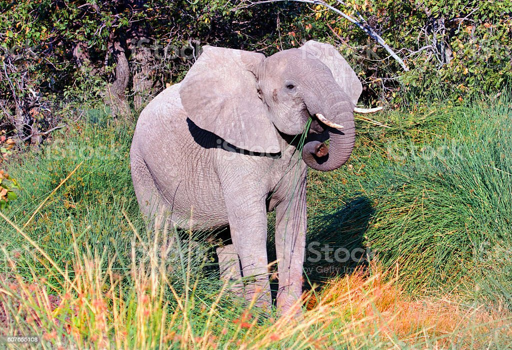 Desert Adapted Elephant in Damaraland - Namibia stock photo