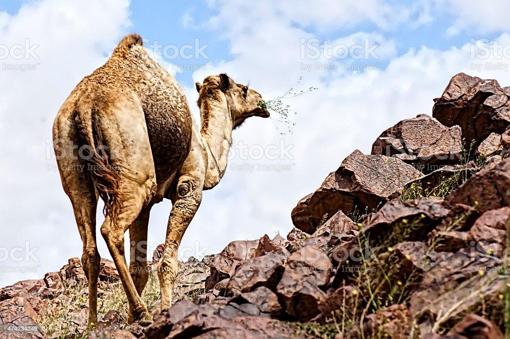 desert and camel stock photo