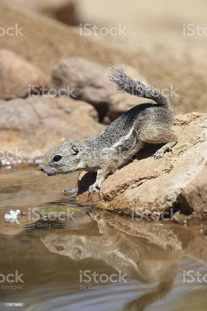 Desert Antelope Ground Squirrel royalty-free stock photo