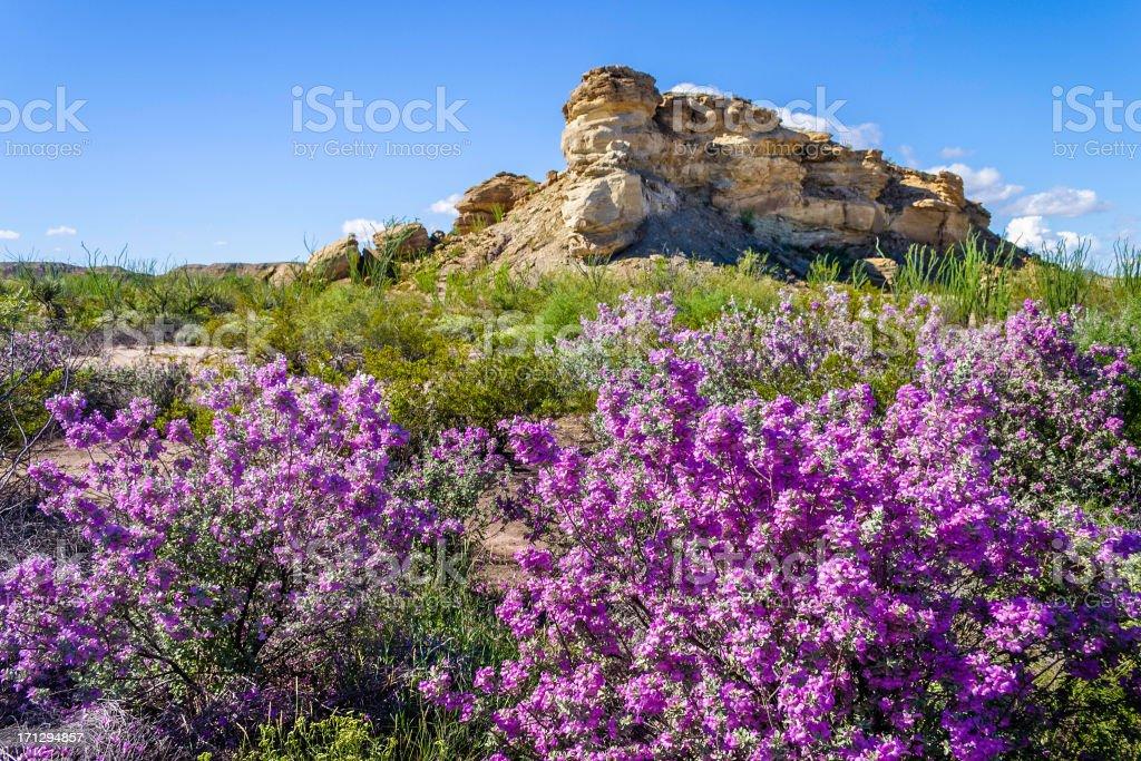 desert azaleas, Big Bend National Park stock photo