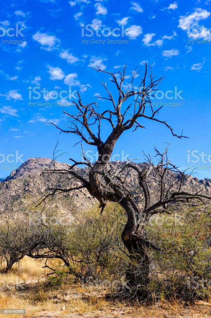 Desert Bare Tree stock photo
