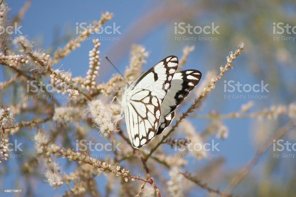Desert Bath White Butterfly stock photo