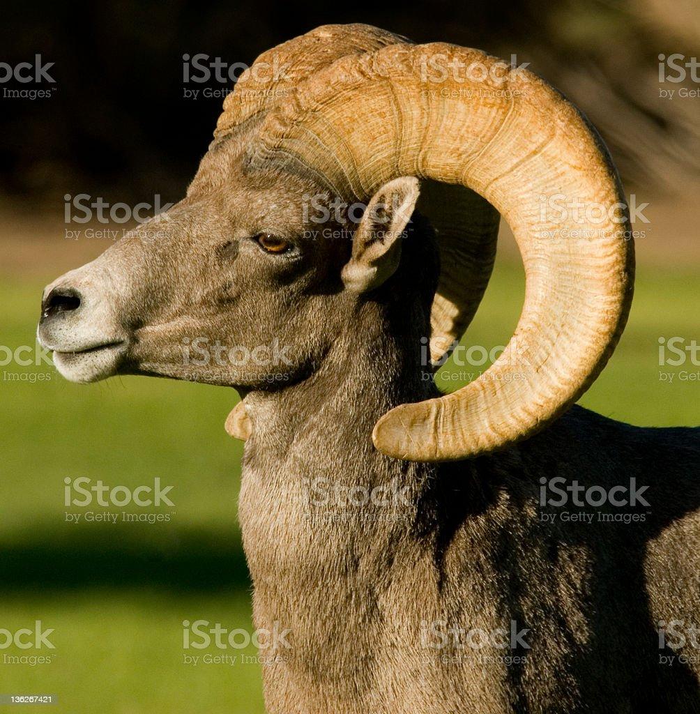 Desert Bighorn Ram stock photo