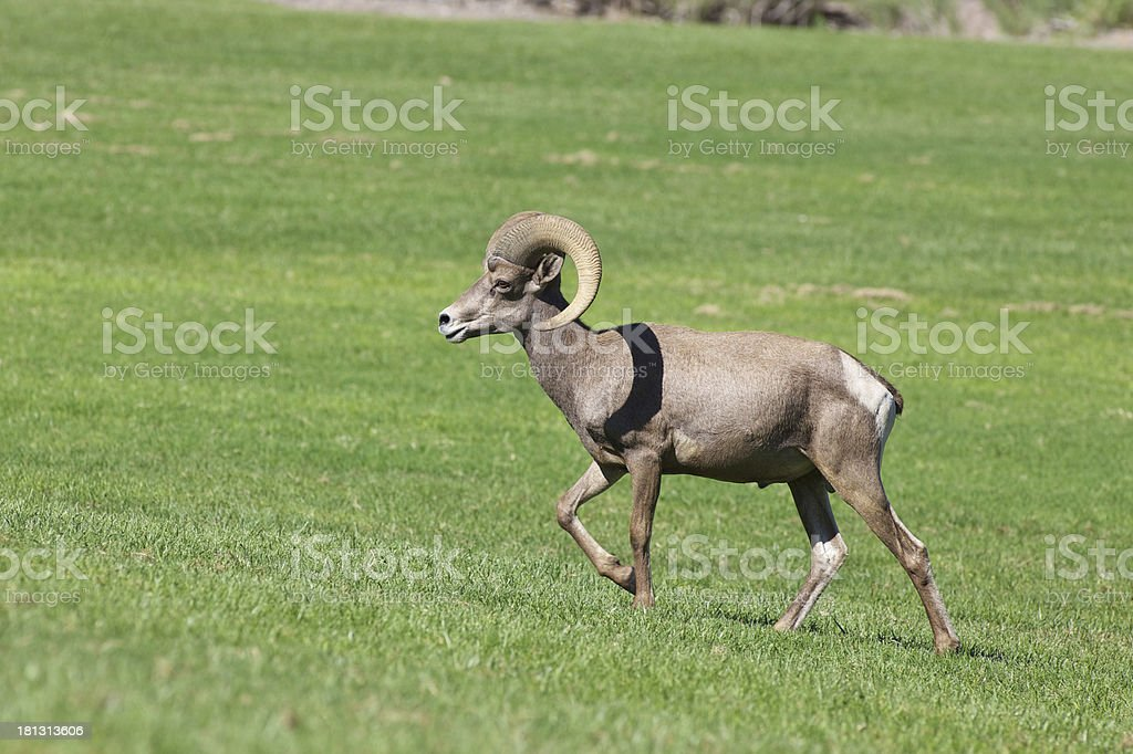 Desert Bighorn Ram royalty-free stock photo