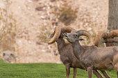 Desert Bighorn Rams Rutting