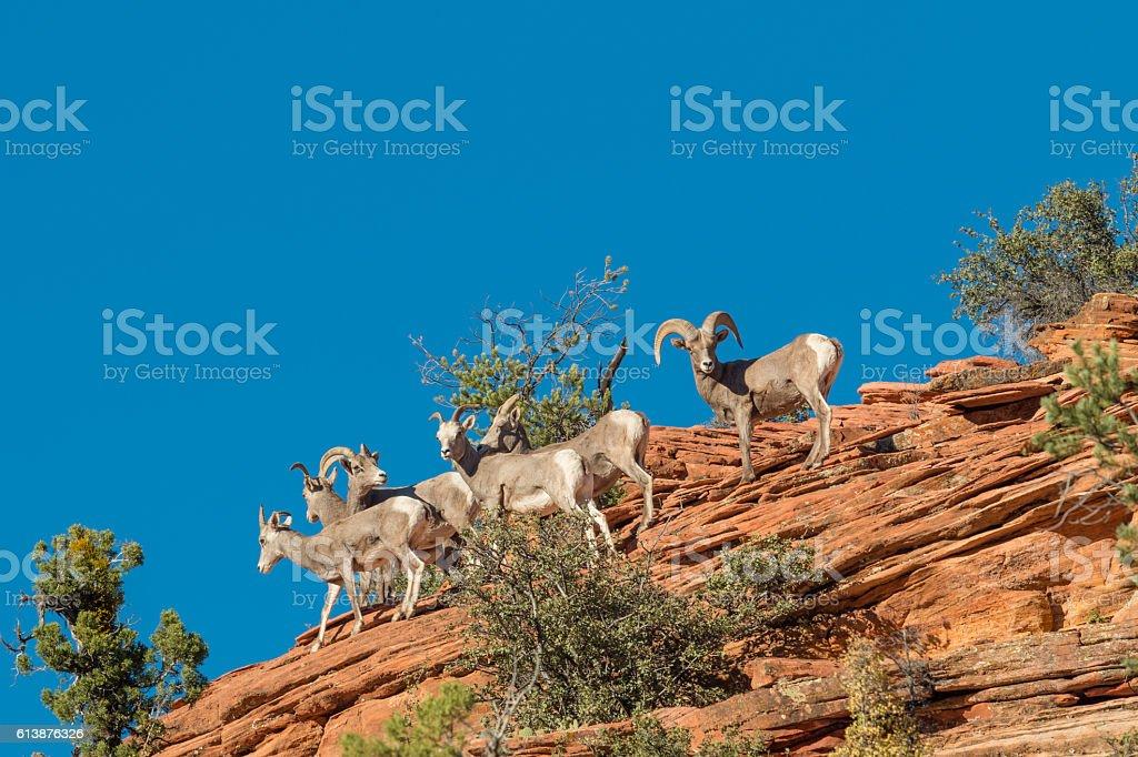 Desert Bighorn Sheep in Rut stock photo