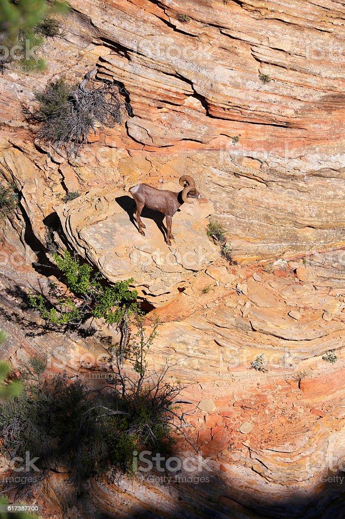 Desert BigHorn Sheep In Zion National Park stock photo