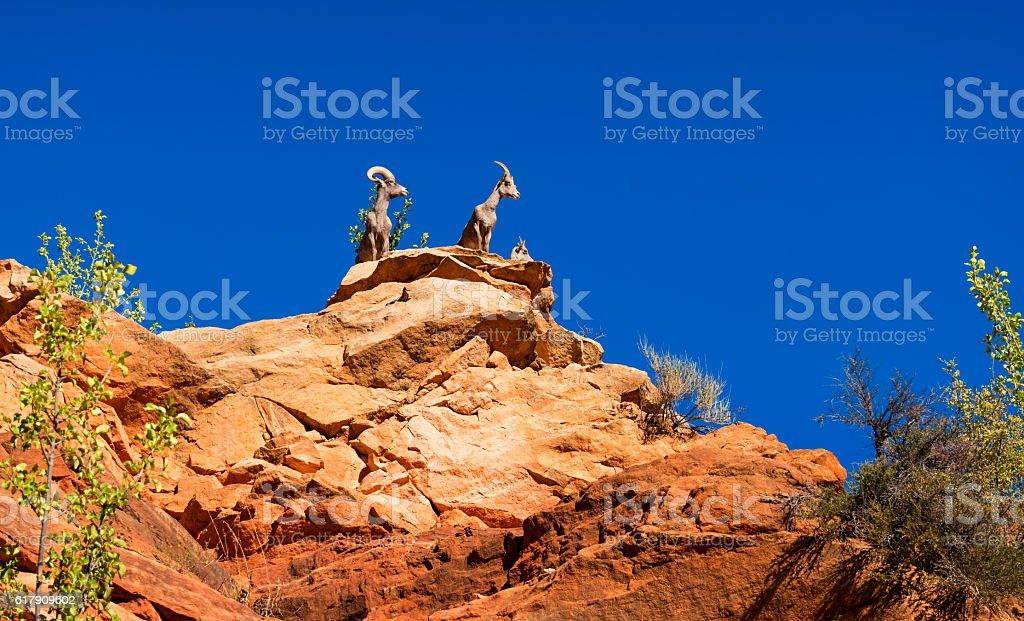Desert Bighorn Sheep in Zion National Park Utah stock photo