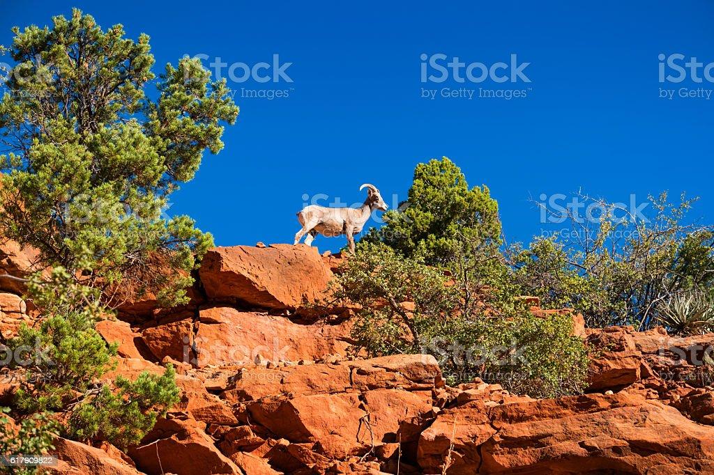 Desert Bighorn Sheep in Zion National Park Utah USA stock photo