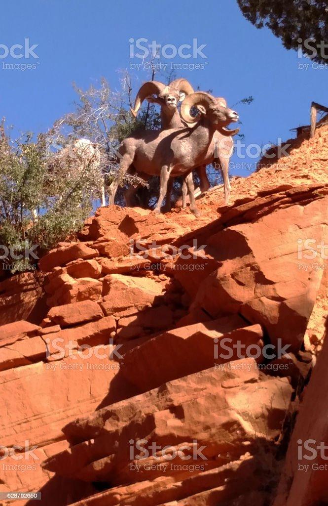 Desert Bighorn Sheep Males red cliff Zion National Park Utah stock photo