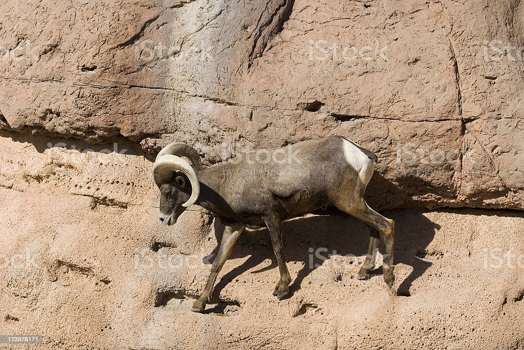 Desert Bighorn Sheep on Rock royalty-free stock photo