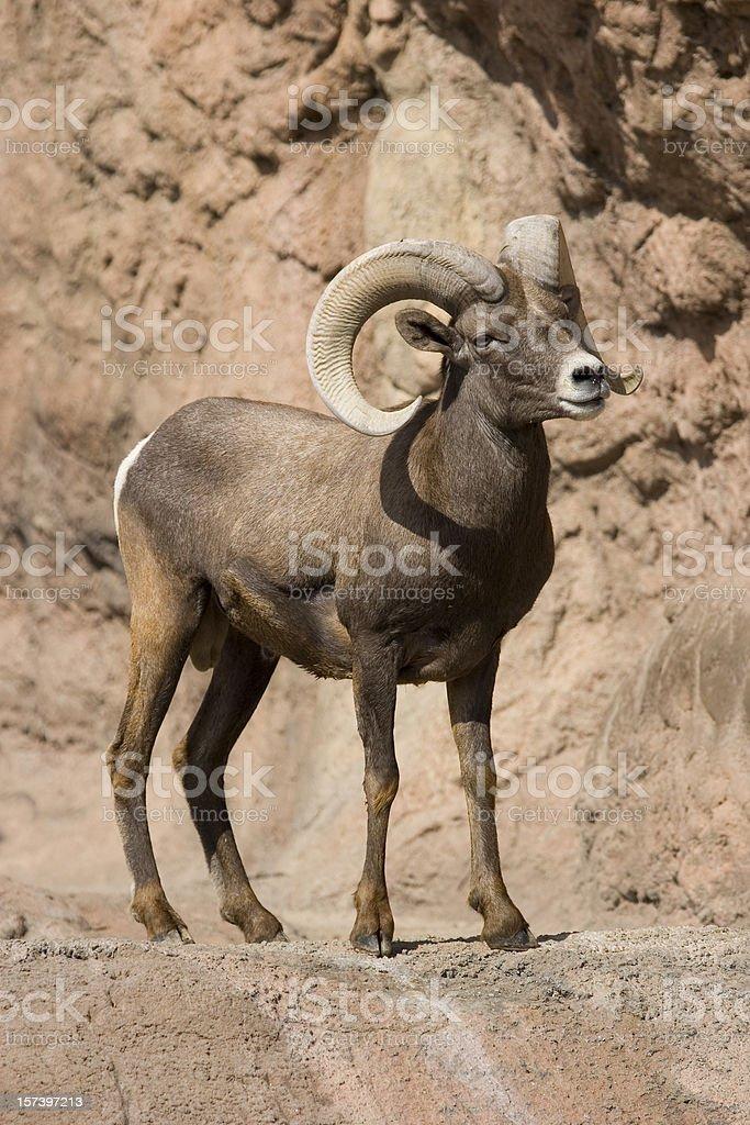 Desert Bighorn Sheep royalty-free stock photo