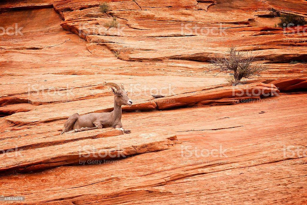Deserto Carneiro Selvagem Norte-americano foto royalty-free