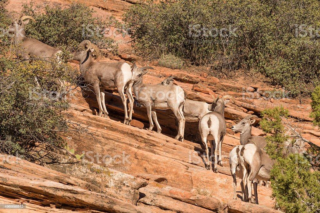 Desert bighorn Sheep stock photo