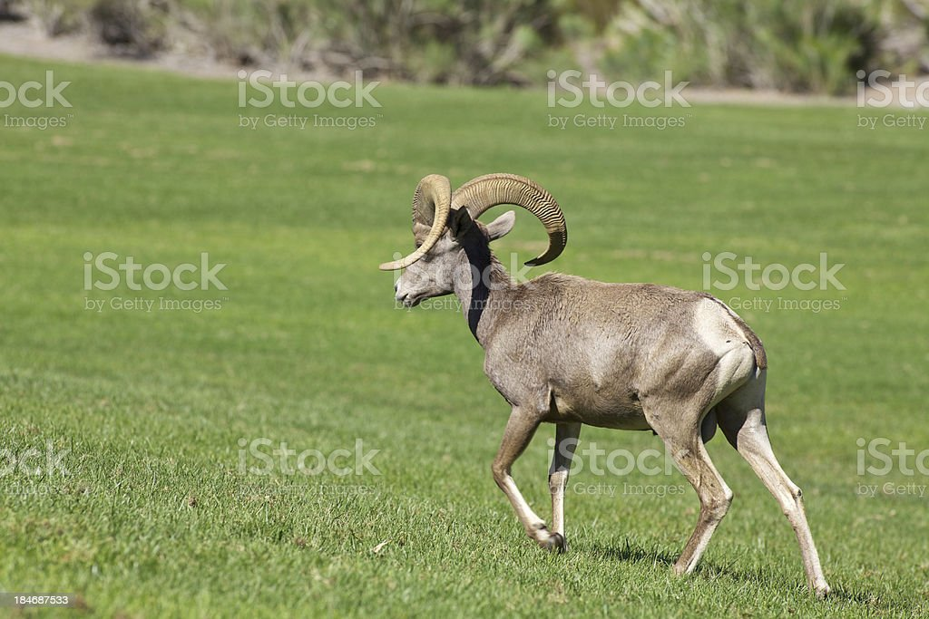 Desert Bighorn Sheep Ram royalty-free stock photo