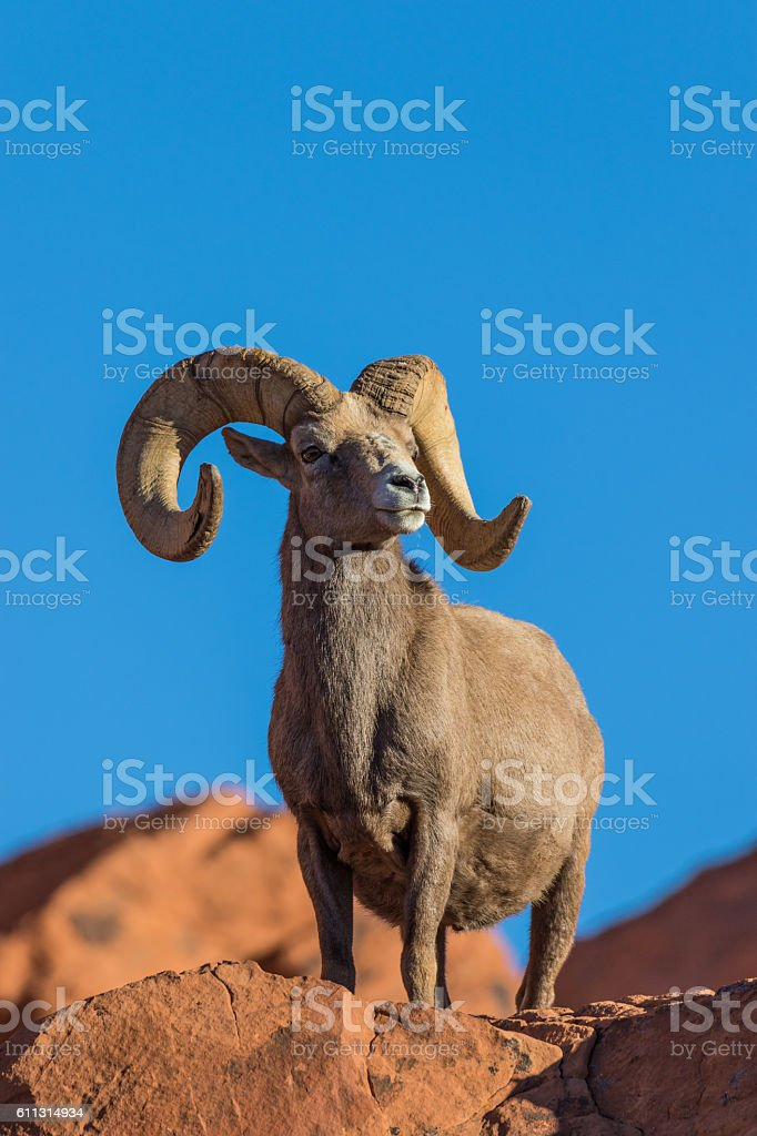 Desert Bighorn Sheep Ram stock photo