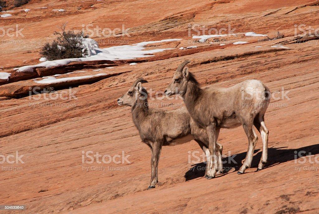 Desert Bighorn Sheep Zion National Park Utah stock photo
