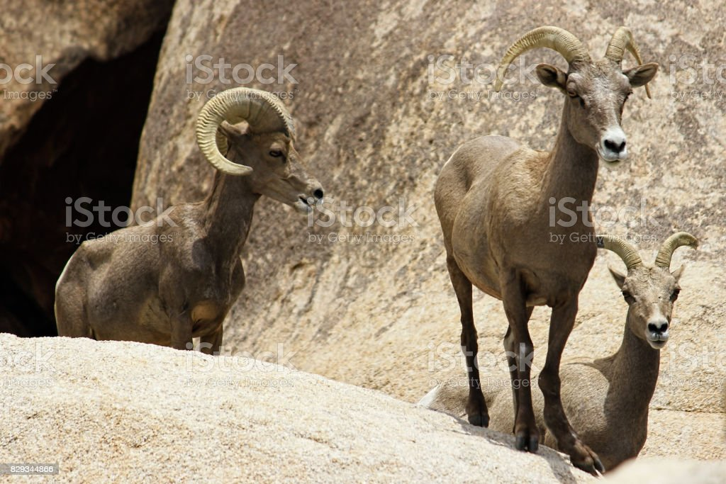 Desert Bighorn Sheeps in the Joshua Tree Nationalpark, USA stock photo