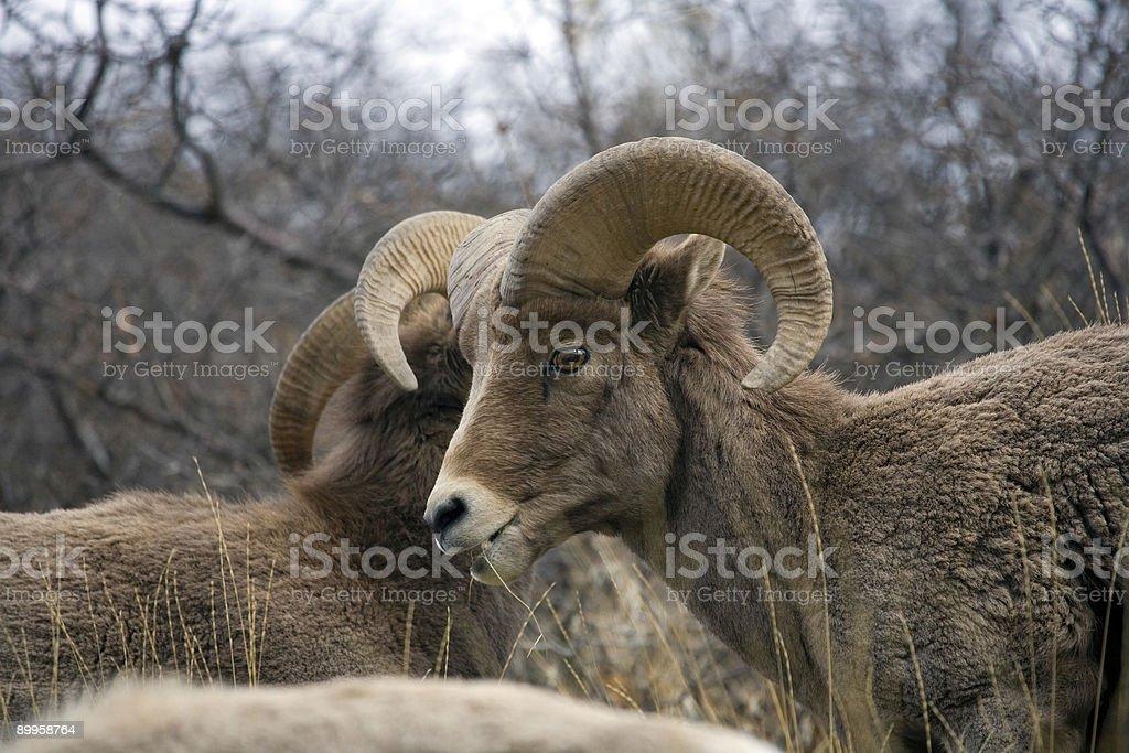 Desert Bighorns Sheep royalty-free stock photo