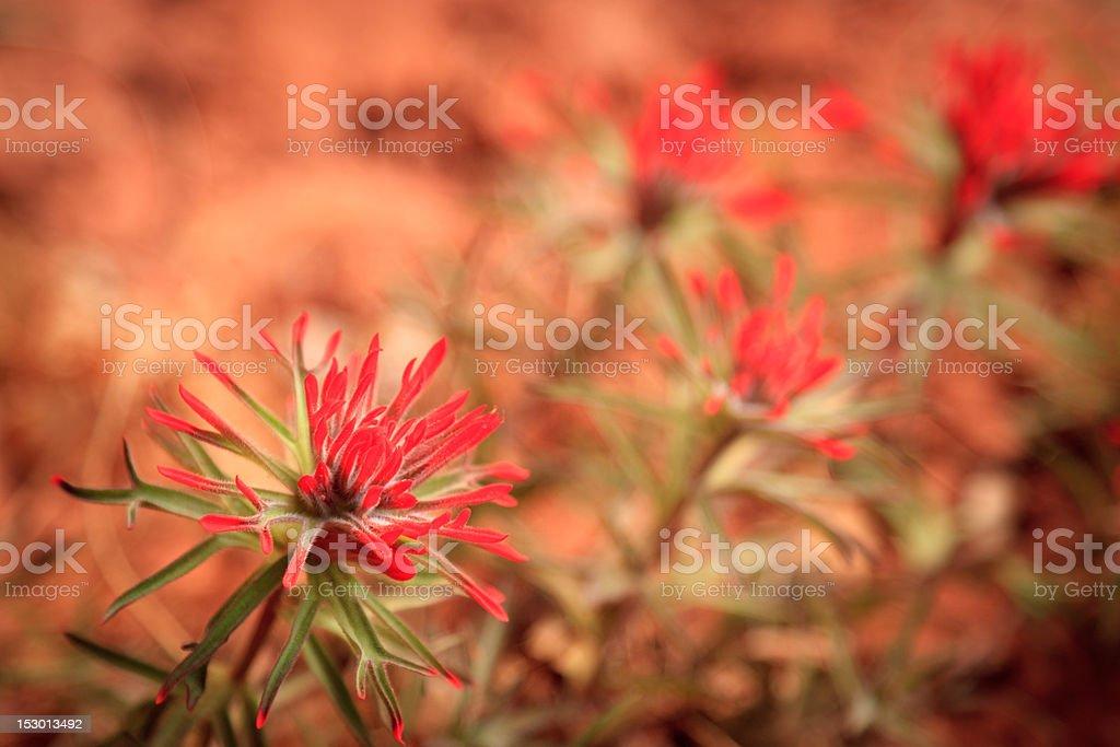 Desert Blooms stock photo