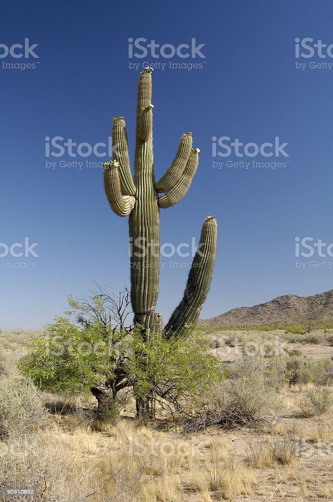 Desert Bloosoms royalty-free stock photo