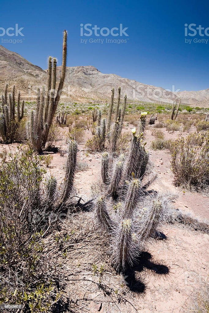 Desert Cactii, Chile stock photo