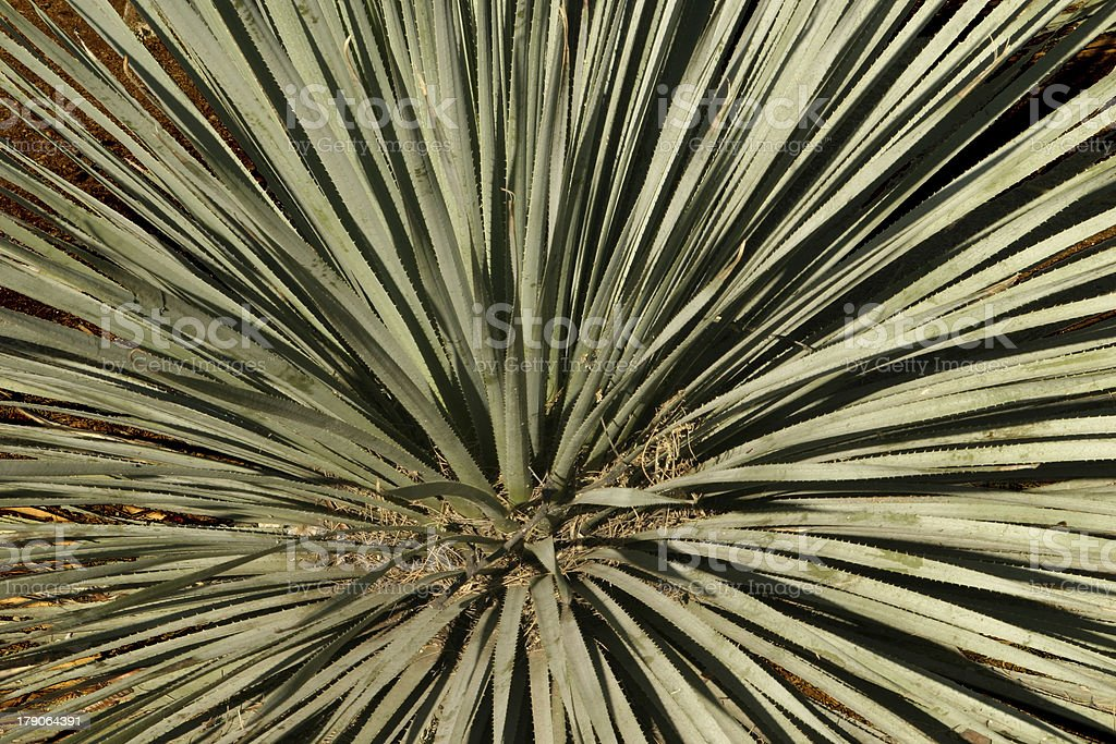 Desert Cactus Abstract royalty-free stock photo