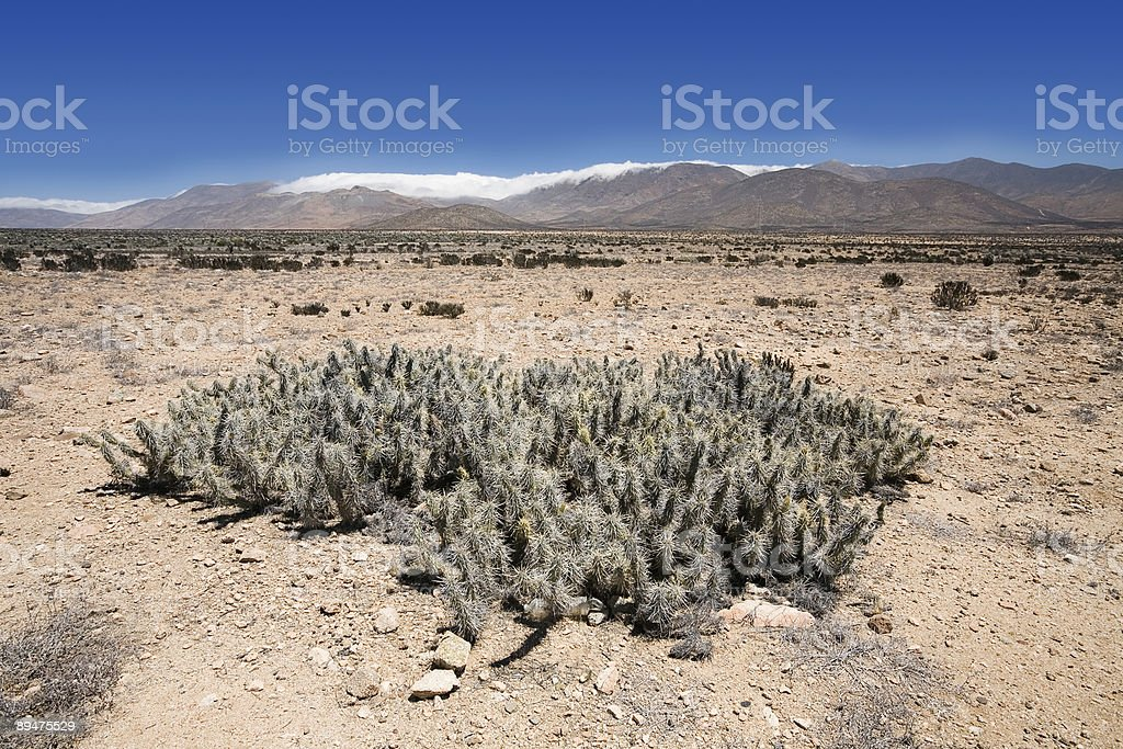 Desert Cactus, Chile royalty-free stock photo