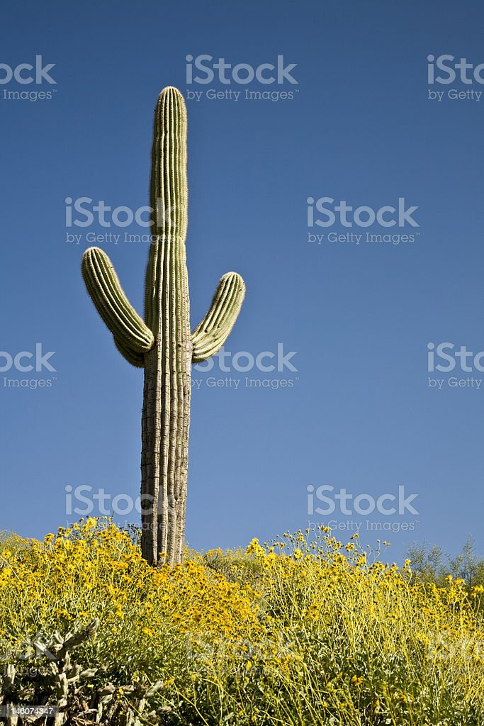 Desert Cactus, flowers and Sky royalty-free stock photo
