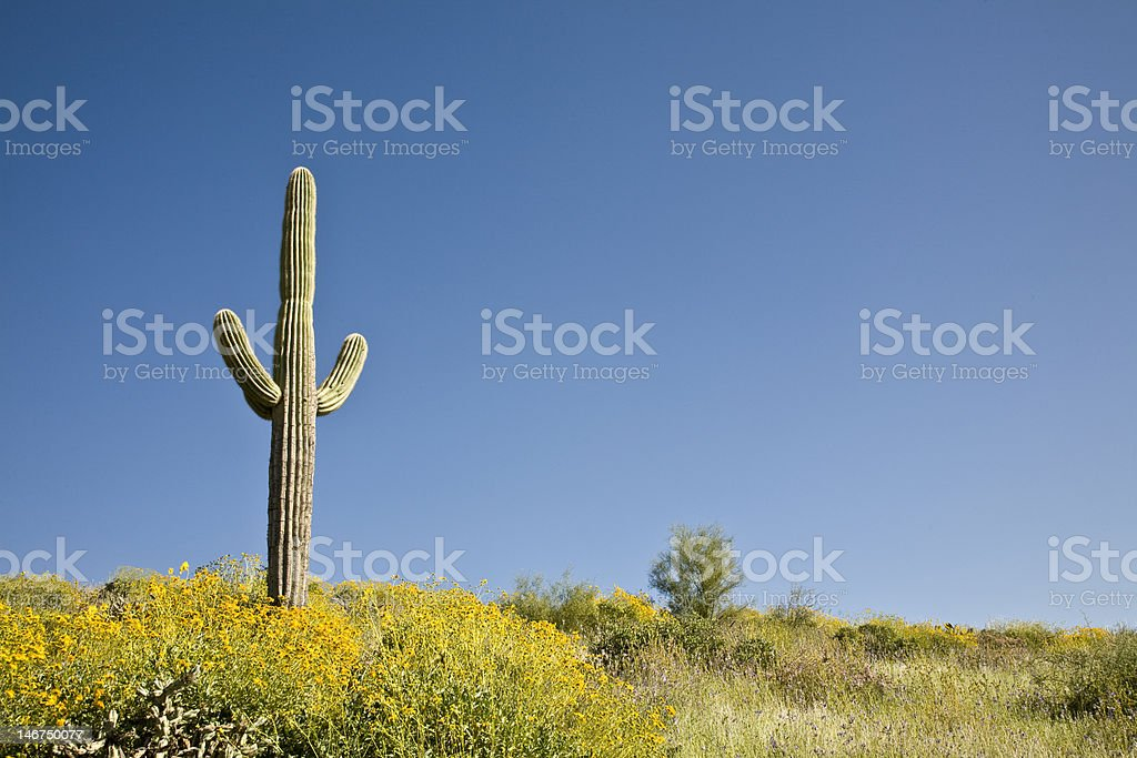 Desert Cactus, flowers and Sky stock photo