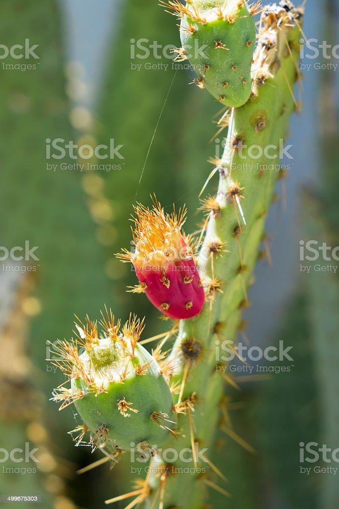 Desert Cactus In Bloom royalty-free stock photo