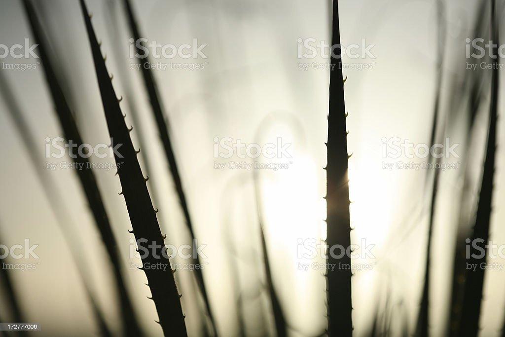 Desert cactus (silhouette) royalty-free stock photo