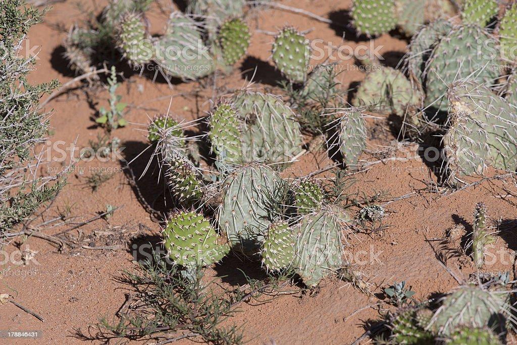 Desert cactus prickly Pear plants royalty-free stock photo