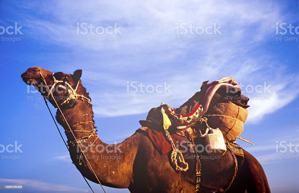 Desert Camel royalty-free stock photo