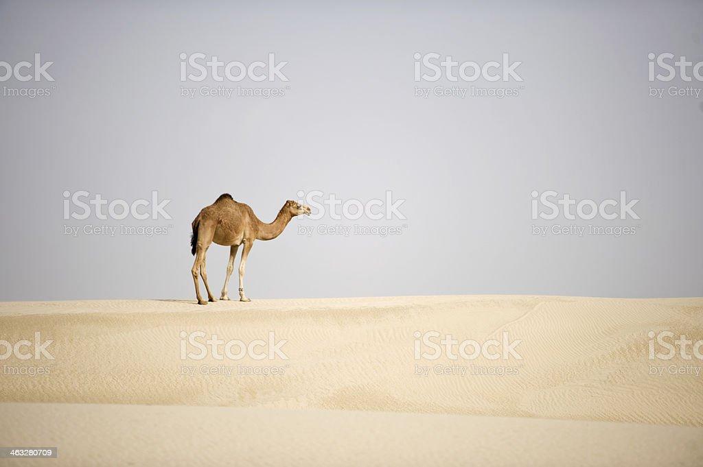 Desert camel stock photo