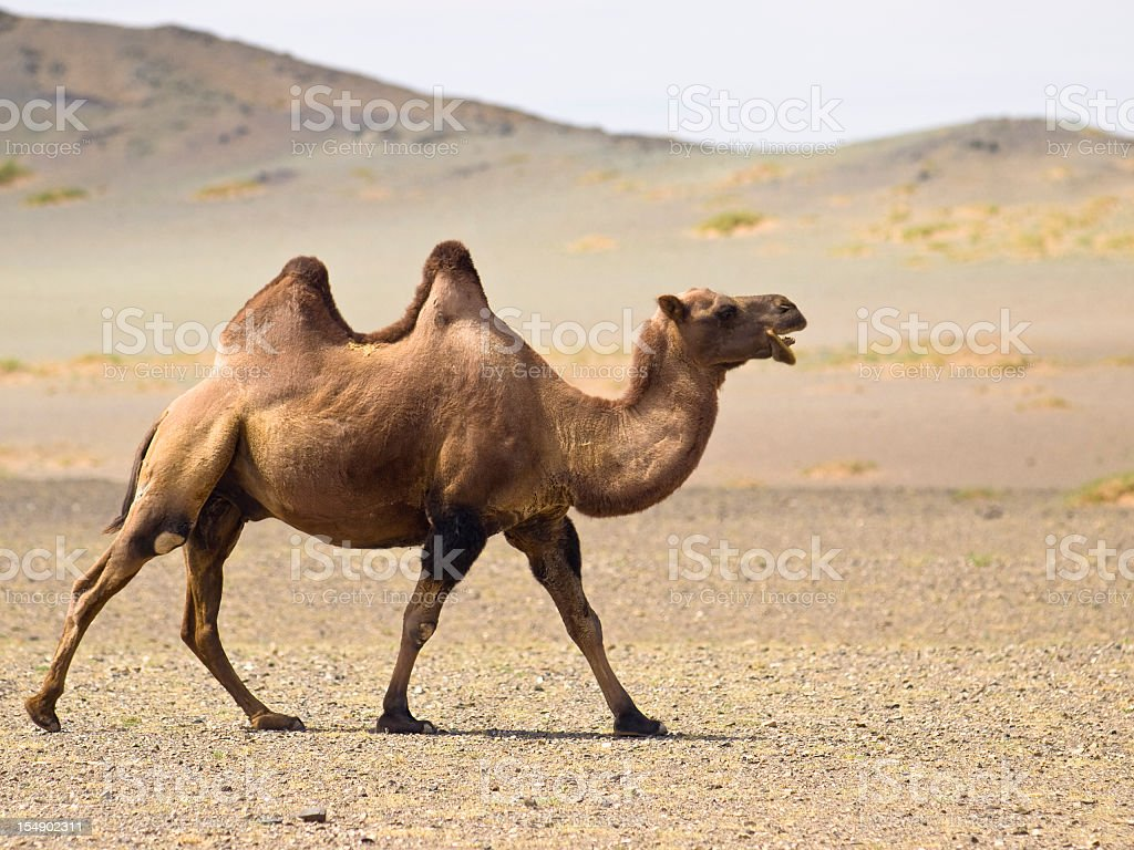 A desert camel with two jumps waking in the sand stock photo