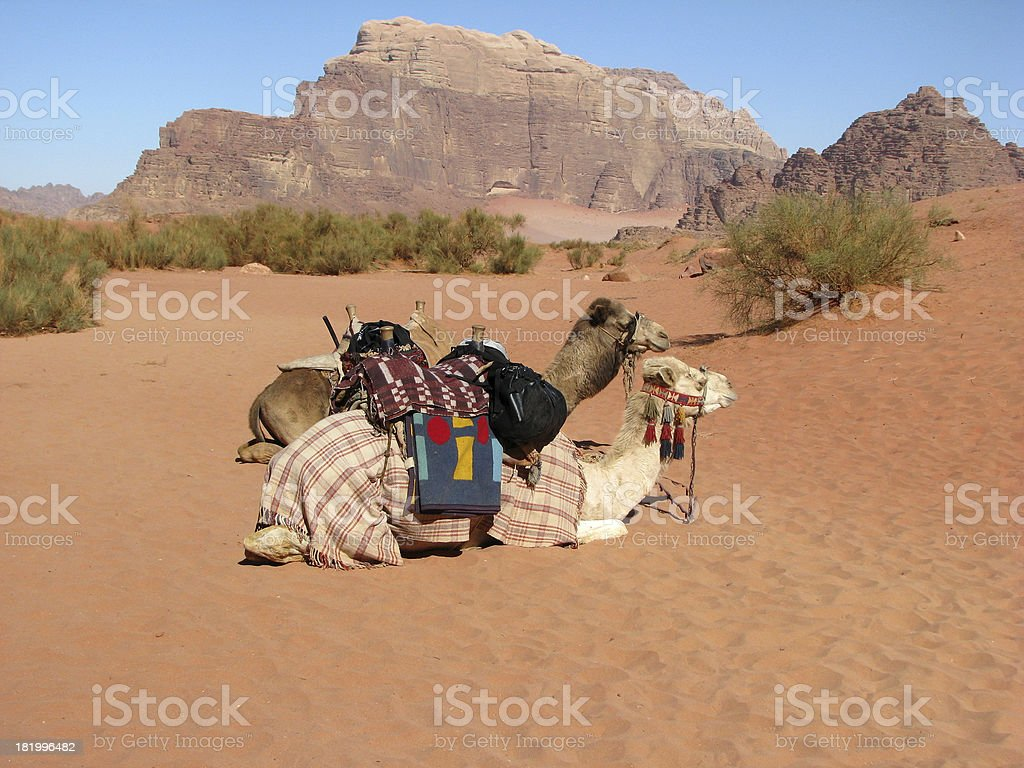 Desert Camels royalty-free stock photo