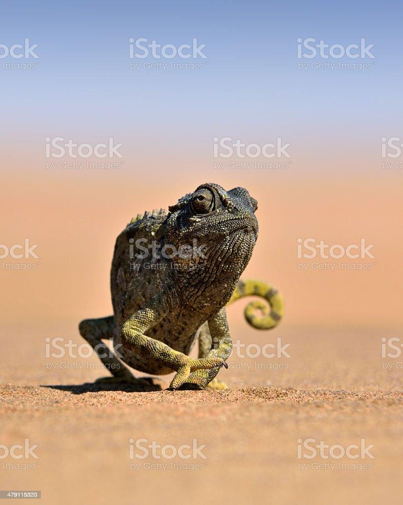 desert chameleon stock photo