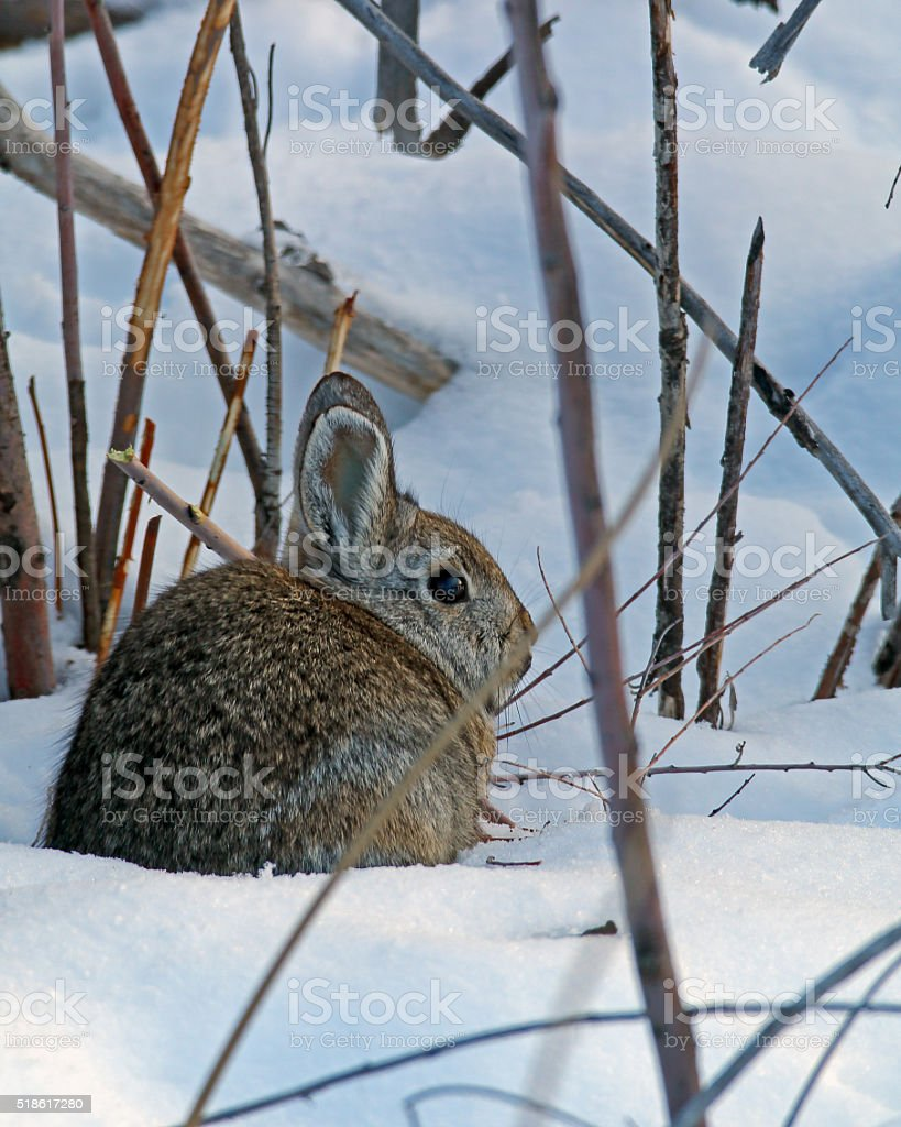 Desert Cottontail stock photo