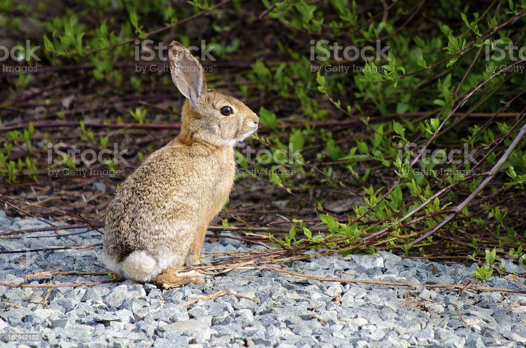 Desert Cottontail Rabbit stock photo