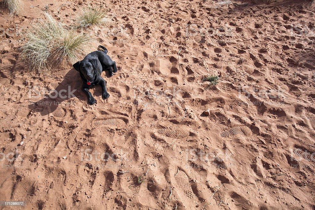 desert dog stock photo