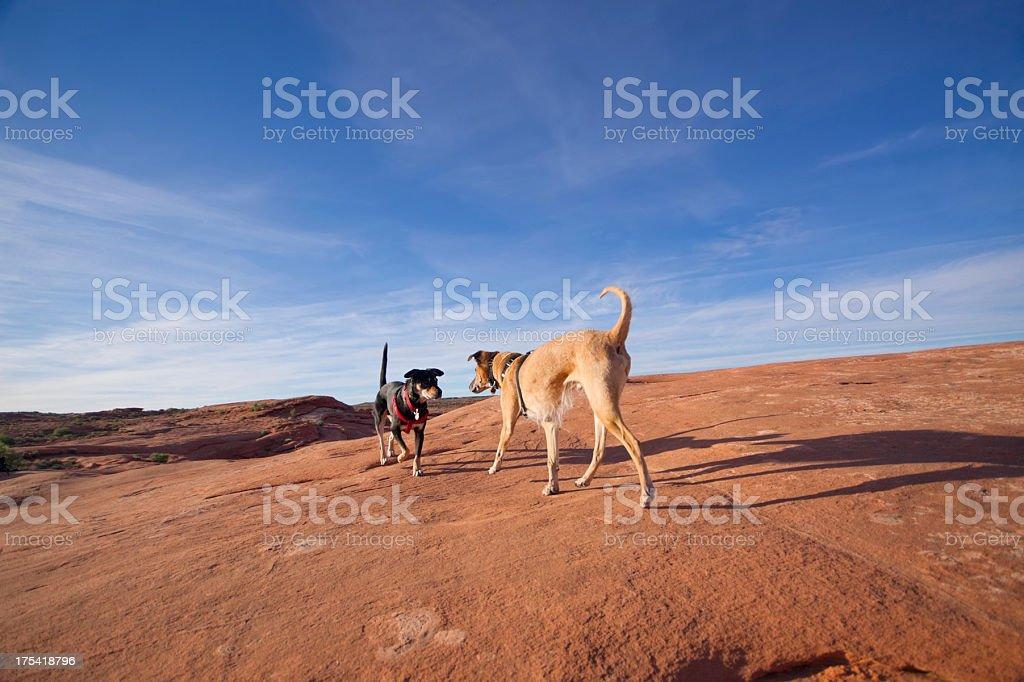 desert dogs stock photo