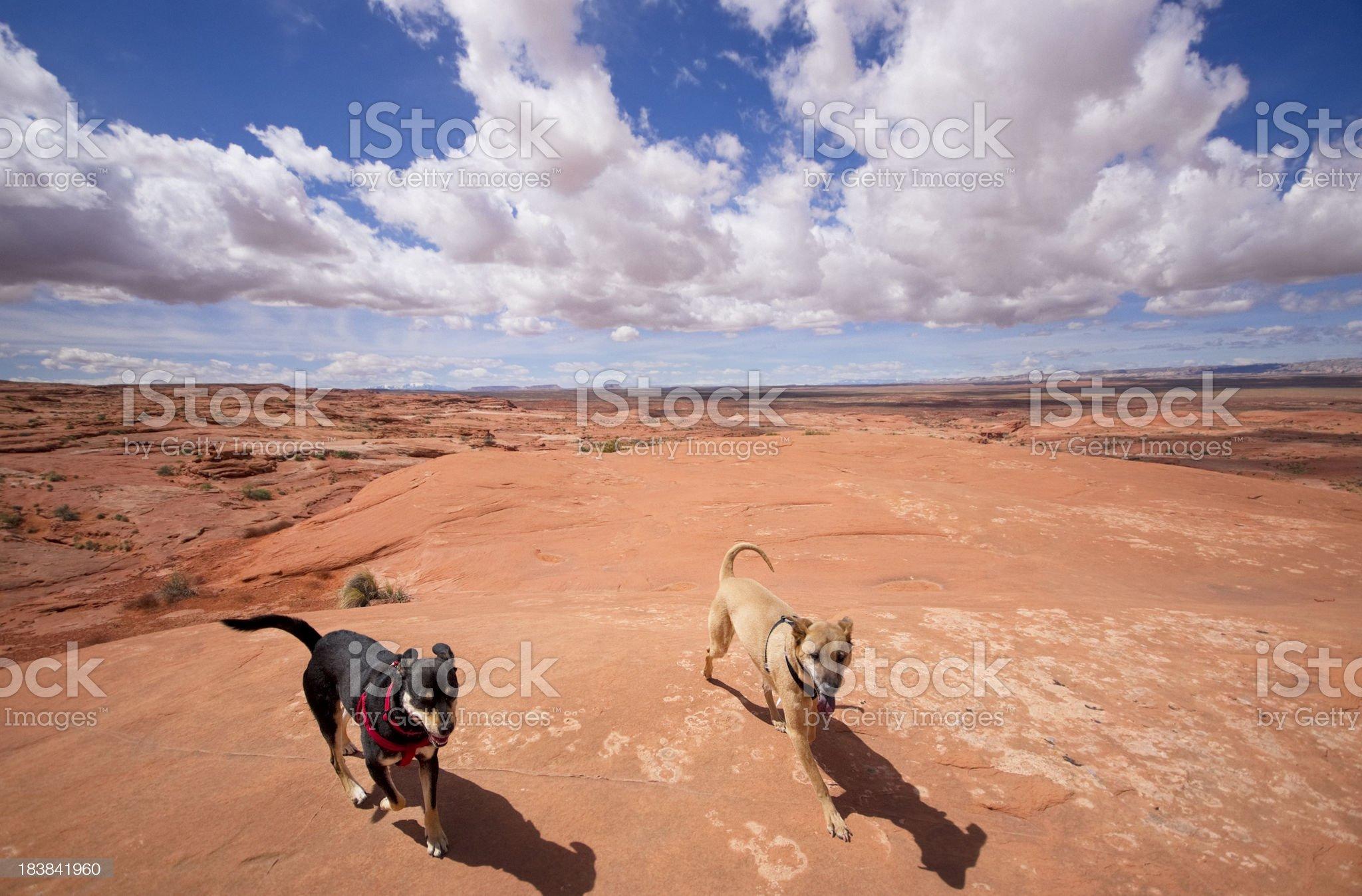 desert dogs royalty-free stock photo
