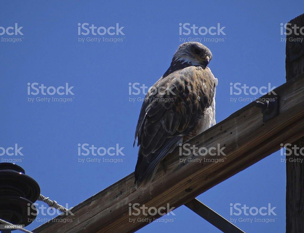 Desert Eagle Hawk Glance stock photo