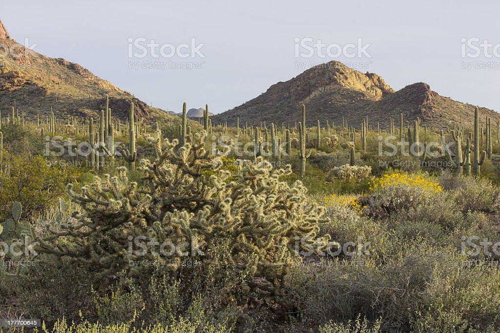 Desert Flora at Sunset royalty-free stock photo