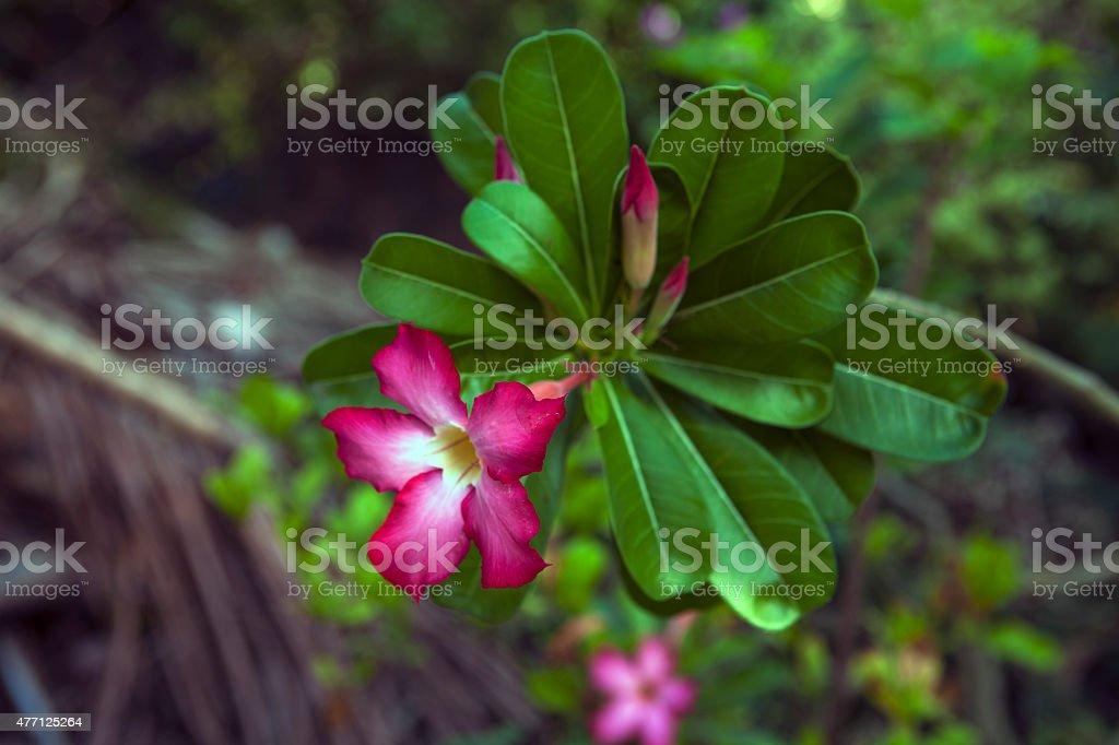 Desert flower, adenium obesum stock photo
