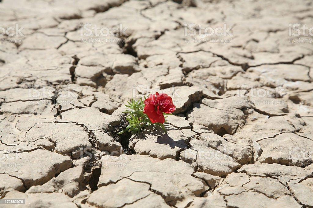 Desert Flower royalty-free stock photo