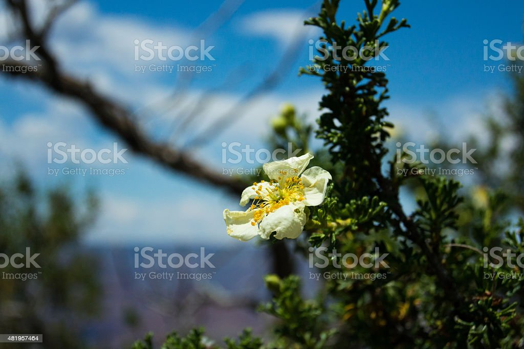 Desert flower foto stock royalty-free