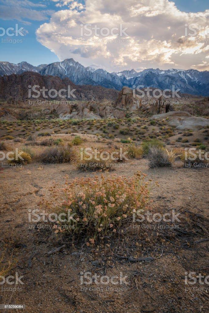 Desert flowers in Alabama Hills stock photo